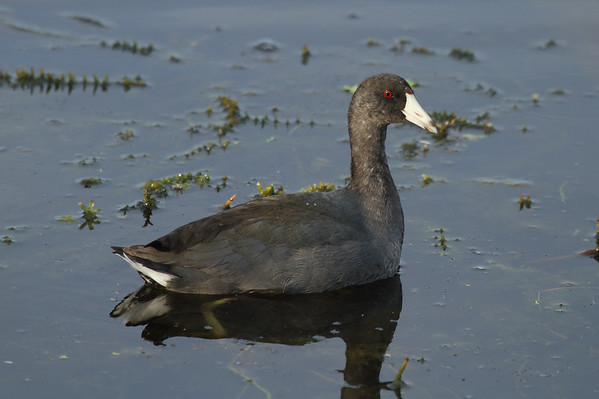 American Coot Nominate subspecies Fulica americana americana Circle B Bar Reserve, Lakeland, Florida 2 November 2016