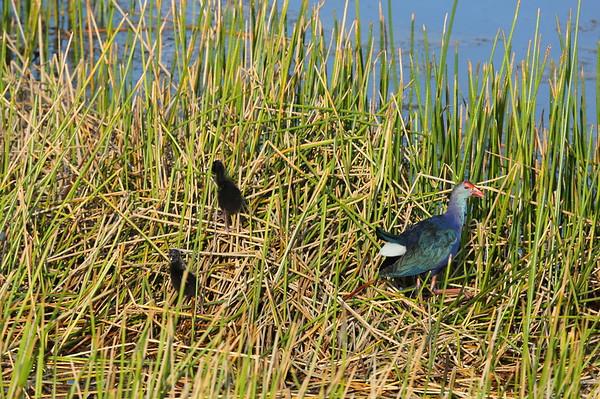 Grey-headed Swamphen (adult with fledglings) Nominate subspecies Porphyrio poliocephalus poliocephalus William J. Gentry, Jr. Memorial Eco Park, Sebring, Florida 08 May 2021
