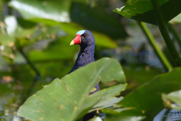 Purple Gallinule Porphyrio martinica Lake Parker, Lakeland, Florida 15 March 2017