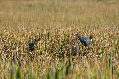 Grey-headed Swamphen Nominate subspecies Porphyrio poliocephalus poliocephalus William J. Gentry, Jr. Memorial Eco Park, Sebring, Florida 24 March 2021