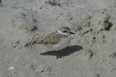 Snowy Plover Nominate subspecies Charadrius nivosus nivosus Family Charadriidae Siesta Beach, Siesta Key, Florida 29 October 2017
