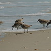 Red Knot<br> <i>rufa</i> subspecies<br> <i>Calidris canutus rufa</i><br> Family <i>Scolopacidae</i><br> Canaveral National Seashore, New Smyrna Beach, Florida<br> 20 February 2017