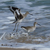 "Willet<br> ""Western"" subspecies<br> <i>Tringa semipalmata inornata</i><br> Family <i>Scolopacidae</i><br> Merritt Island National Wildlife Refuge, Titusville, Florida<br> 18 October 2016"
