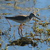 Greater Yellowlegs<br> <i>Tringa melanoleuca</i><br> Family <i>Scolopacidae</i><br> Circle B Bar Reserve, Lakeland, Florida<br> 11 January 2017