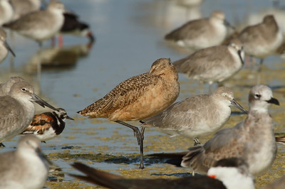 Marbled Godwit Nominate subspecies Limosa fedoa fedoa Family Scolopacidae Siesta Key Beach, Siesta Key, Florida 17 September 2017