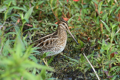 Wilson's Snipe Gallinago delicata Family Scolopacidae Circle B Bar Reserve, Lakeland, Florida 22 November 2017