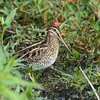 Wilson's Snipe<br> <i>Gallinago delicata</i><br> Family <i>Scolopacidae</i><br> Circle B Bar Reserve, Lakeland, Florida<br> 22 November 2017