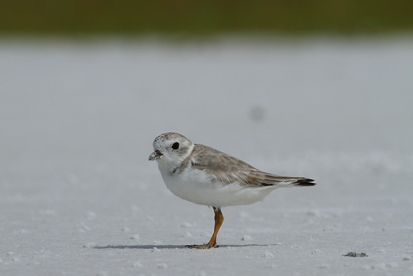 Piping Plover Nominate subspecies Charadrius melodus melodus Family Charadriidae Siesta Beach, Siesta Key, Florida 11 October 2018