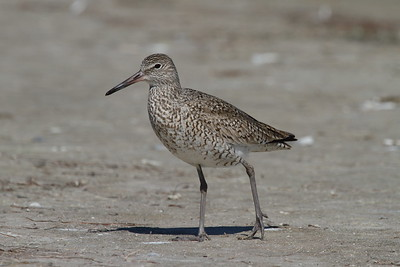 Willet Nominate subspecies Tringa semipalmata semipalmata Family Scolopacidae Fort De Soto Park, Tierra Verde, Florida 13 March 2018