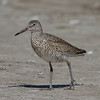 Willet<br> Nominate subspecies<br> <i>Tringa semipalmata semipalmata</i><br> Family <i>Scolopacidae</i><br> Fort De Soto Park, Tierra Verde, Florida<br> 13 March 2018