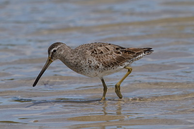 "Short-billed Dowitcher ""Prairie"" subspecies Limnodromus griseus hendersoni Family Scolopacidae Fort De Soto Park, Tierra Verde, Florida 13 March 2018"