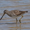 "Short-billed Dowitcher<br> ""Prairie"" subspecies<br> <i>Limnodromus griseus hendersoni</i><br> Family <i>Scolopacidae</i><br> Fort De Soto Park, Tierra Verde, Florida<br> 13 March 2018"