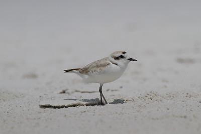 Snowy Plover Nominate subspecies Charadrius nivosus nivosus Family Charadriidae Siesta Beach, Siesta Key, Florida 25 April 2018