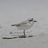 Snowy Plover<br> Nominate subspecies<br> <i>Charadrius nivosus nivosus</i><br> Family <i>Charadriidae</i><br> Siesta Beach, Siesta Key, Florida<br> 25 April 2018