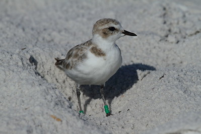 Snowy Plover Nominate subspecies Charadrius nivosus nivosus Family Charadriidae Siesta Beach, Siesta Key, Florida 6 September 2018