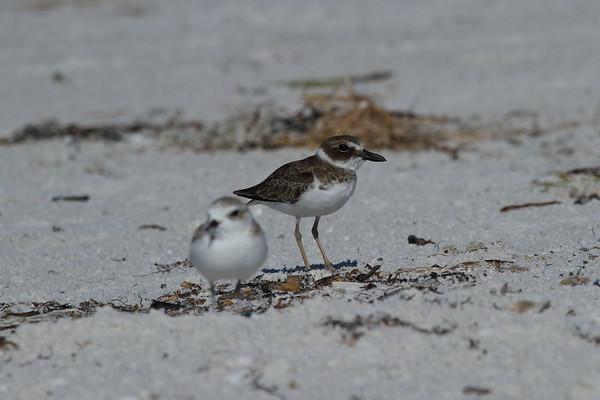 Wilson's Plover Nominate subspecies Charadrius wilsonia wilsonia Family Charadriidae Siesta Beach, Siesta Key, Florida 6 September 2018