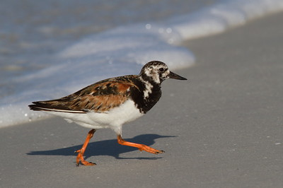 "Ruddy Turnstone ""Canadian"" subspecies Arenaria interpres morinella Family Scolopacidae Siesta Key Beach, Siesta Key, Florida 30 August 2017"