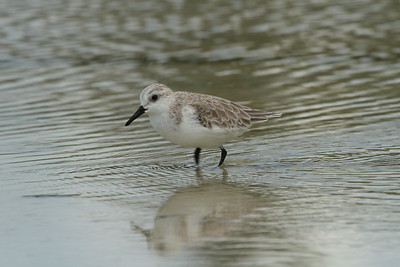 Sanderling rubida subspecies Calidris alba rubida Family Scolopacidae Siesta Beach, Siesta Key, Florida 11 October 2018