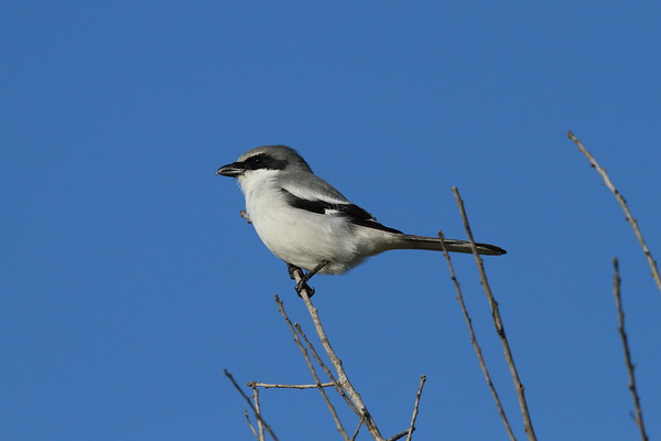 Loggerhead Shrike Nominate subspecies Lanius ludovicianus ludovicianus Celery Fields, Sarasota, Florida 24 January 2017