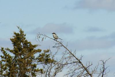 """Loggerhead Shrike """"Eastern"""" subspecies Lanius ludovicianus migrans Scheck Nature Reserve, Newburgh, Ontario 17 April 2012"""