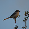 Loggerhead Shrike<br> Nominate subspecies<br> <i>Lanius ludovicianus ludovicianus</i><br> Celery Fields, Sarasota, Florida<br> 1 January 2017