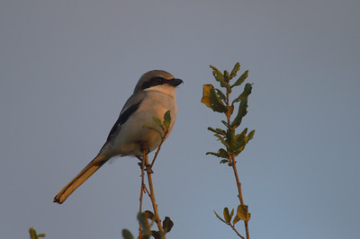 Loggerhead Shrike Nominate subspecies Lanius ludovicianus ludovicianus Celery Fields, Sarasota, Florida 1 January 2017