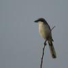 Loggerhead Shrike<br> Nominate subspecies<br> <i>Lanius ludovicianus ludovicianus</i><br> Celery Fields, Sarasota, Florida<br> 14 December 2016