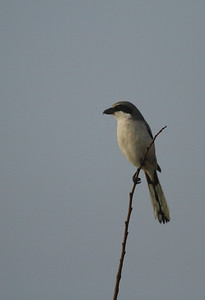 Loggerhead Shrike Nominate subspecies Lanius ludovicianus ludovicianus Celery Fields, Sarasota, Florida 14 December 2016
