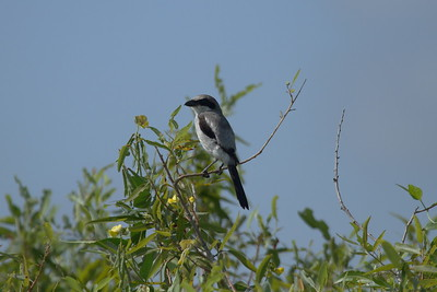 Loggerhead Shrike Nominate subspecies Lanius ludovicianus ludovicianus Celery Fields, Sarasota, Florida 4 July 2018