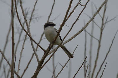 Loggerhead Shrike Nominate subspecies Lanius ludovicianus ludovicianus Viera Wetlands, Melbourne, Florida 10 January 2017