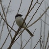 Loggerhead Shrike<br> Nominate subspecies<br> <i>Lanius ludovicianus ludovicianus</i><br> Viera Wetlands, Melbourne, Florida<br> 10 January 2017