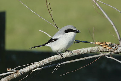 Loggerhead Shrike Nominate subspecies Lanius ludovicianus ludovicianus Celery Fields, Sarasota, Florida 08 January 2020