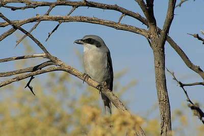 "Loggerhead Shrike ""Western"" subspecies Lanius ludovicianus excubitorides Duck Creek Trail, Whitney, Nevada 6 November 2010"