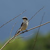 Loggerhead Shrike (juvenile)<br> Nominate subspecies<br> <i>Lanius ludovicianus ludovicianus</i><br> Celery Fields, Sarasota, Florida<br> 14 June 2017