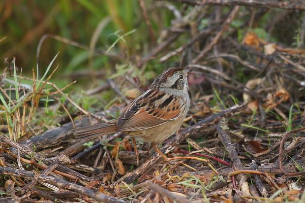 Swamp Sparrow Nominate subspecies Melospiza georgiana georgiana Family Passerellidae Circle B Bar Reserve, Lakeland, Florida 22 January 2018