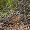 Swamp Sparrow<br> Nominate subspecies<br> <i>Melospiza georgiana georgiana</i><br> Family <i>Emberizidae</i><br> Circle B Bar Reserve, Lakeland, Florida<br> 22 January 2018
