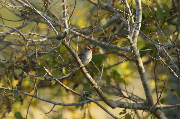 "White-crowned Sparrow (juvenile) ""Gambel's"" subspecies Zonotrichia leucophrys gambelii Family Passerellidae Celery Fields, Sarasota, Florida 16 December 2020"