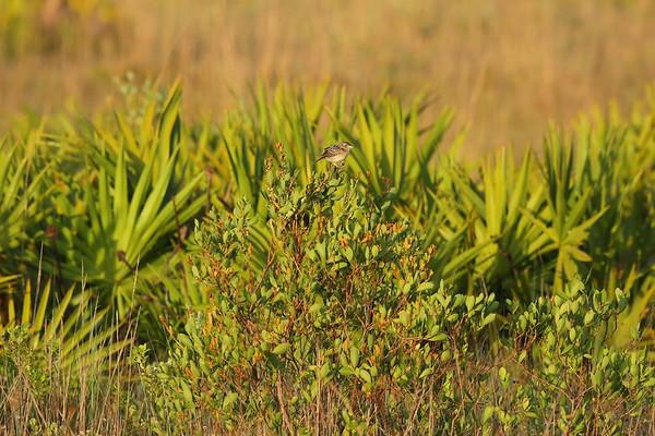 "Grasshopper Sparrow ""Florida"" subspecies Ammodramus savannarum floridanus Family Passerellidae Avon Park Air Force Range, Highlands County, Florida 23 May 2021"