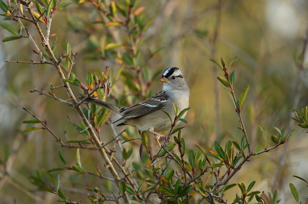 """White-crowned Sparrow """"Gambel's"""" subspecies Zonotrichia leucophrys gambelii Family Passerellidae Celery Fields, Sarasota, Florida 01 January 2021"""