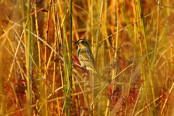 Nelson's Sparrow Nominate subspecies Ammodramus nelsoni nelsoni Family Passerellidae Constance Creek, Woodlawn, Ontario 4 October 2012