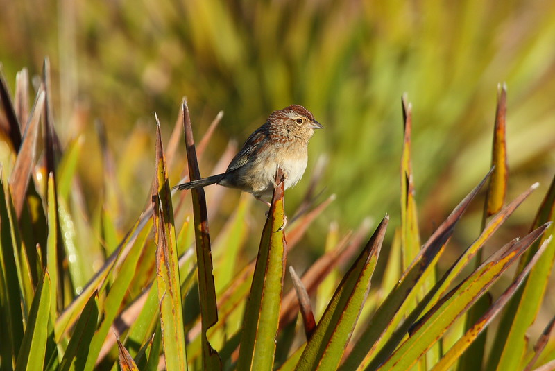 Bachman's Sparrow<br> Nominate subspecies<br> <i>Peucaea aestivalis aestivalis</i><br> Family <i>Emberizidae</i><br> Avon Park Air Force Range, Highlands, County, Florida<br> 24 March 2018