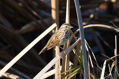 Savannah Sparrow savanna subspecies Passerculus sandwichensis savanna Family Passerellidae Viera Wetlands, Melbourne, Florida 20 February 2017