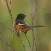 "Eastern Towhee (male)<br> ""White-eyed"" subspecies<br> <i>Pipilo erythrophthalmus alleni</i><br> Family <i>Emberizidae</i><br> Avon Park Air Force Range, Avon Park, Florida<br> 22 January 2017"