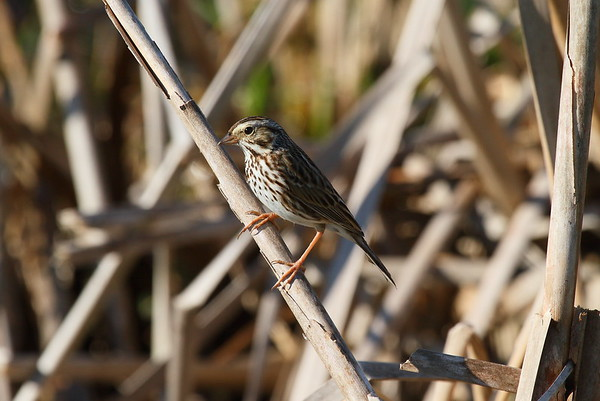 Savannah Sparrow savanna subspecies Passerculus sandwichensis savanna Family Passerellidae Viera Wetlands, Melbourne, Florida 20 February 2017