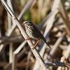 Savannah Sparrow<br> <i>savanna</i> subspecies<br> <i>Passerculus sandwichensis savanna</i><br> Family <i>Emberizidae</i><br> Viera Wetlands, Melbourne, Florida<br> 20 February 2017