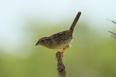 Bachman's Sparrow Nominate subspecies Peucaea aestivalis aestivalis Family Passerellidae Avon Park Air Force Range, Highlands County, Florida 16 July 2017