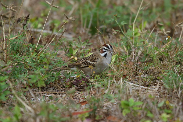 Lark Sparrow Nominate subspecies Chondestes grammacus grammacus Family Passerellidae Fort De Soto Park, Tierra Verde, Florida 01 January 2018
