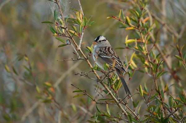 "White-crowned Sparrow ""Gambel's"" subspecies Zonotrichia leucophrys gambelii Family Passerellidae Celery Fields, Sarasota, Florida 01 January 2021"