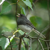 Dark-eyed Junco<br> Nominate subspecies<br> <i>Junco hyemalis hyemalis</i><br> Family <i>Emberizidae</i><br> Lackawanna River Heritage Trail, Jermyn, Pennsylvania<br> 19 July 2016