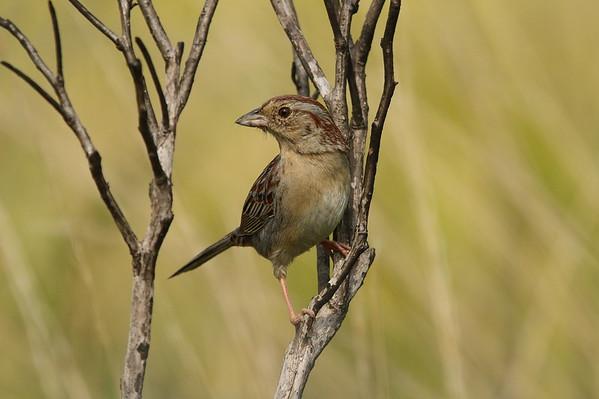 Bachman's Sparrow Nominate subspecies Peucaea aestivalis aestivalis Family Passerellidae Avon Park Air Force Range, Highlands, County, Florida 31 March 2019